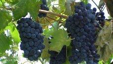 Toscane - druiven, wijn