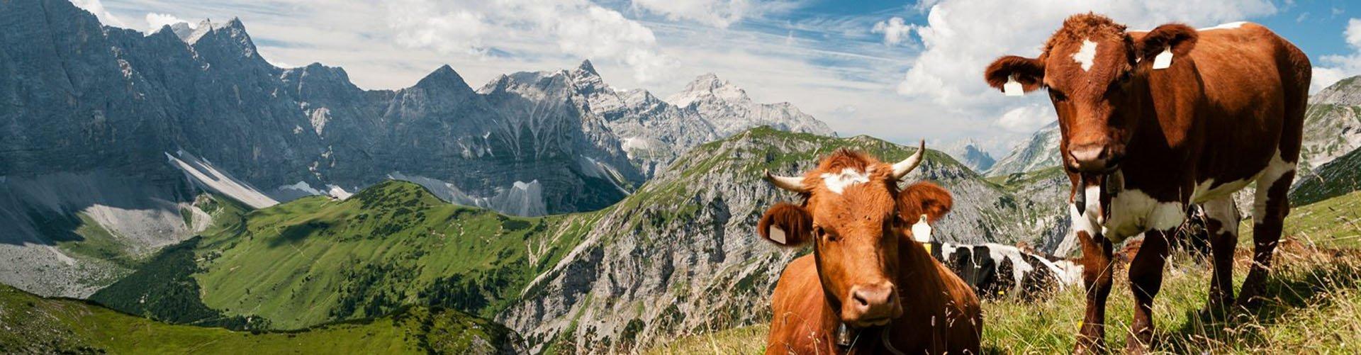 Oostenrijk, Salzburgerland - bergen milka koeien